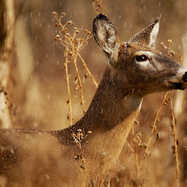 Deer by Ann Overhulse - Animals Other Mammals
