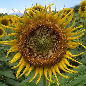 Sun Shine ! by Darshan Trivedi - Flowers Flower Gardens ( love, macro, nature, petals, beautiful, opening, shining, sunflower, closed, morning, flower )