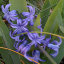 Purple hyacinth plant
