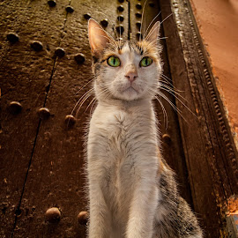 Marrakech Cat by Mila Chorazyczewska - Animals - Cats Portraits ( marrakech, cat, market, medina, morocco,  )