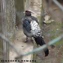 White-crested Kalij Pheasant