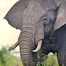 Bull's Portrait by Pieter J de Villiers - Animals Other ( mammals, animals, other, elephant, bull, portrait,  )