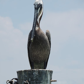 Pelican by William Rhodes - Animals Birds ( florida, beach, pelican )