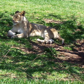enjoying the shade by Debbie Theobald - Animals Lions, Tigers & Big Cats ( natural light, lion, nature, mammal, animal,  )