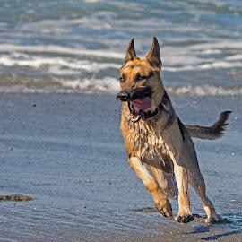 Shepherd Owns the Beach by Mark Ahrens - Animals - Dogs Running ( turn, pacific, ocean, beach, run, sun, coast, shepherd, surfing, sunshine, humboldt, fast, surf, dog, german shepherd, foam )