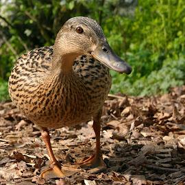 Hello duckie! by Linda Boyer - Animals Birds ( water, webbed, beak, duck, brown, feathers,  )