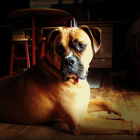 Ruger by Sue Neitzel - Animals - Dogs Portraits ( dogs, boxer, pets, breeds, companions, #GARYFONGPETS, #SHOWUSYOURPETS )