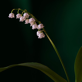 Lily Of The Valley by Sue Matsunaga - Novices Only Flowers & Plants