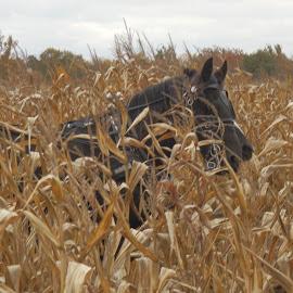 The Horsemanless Head by Nola Jungeberg - Animals Horses ( autumn, cornfield, fall, horse, halloween )