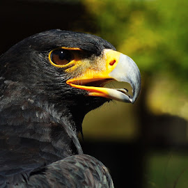 Black Eagle by Seppie Malherbe - Animals Birds (  )