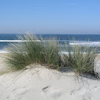 European beachgrass