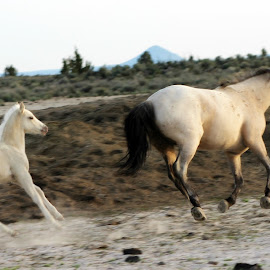 Running Free by Kathy Tellechea - Animals Horses ( mare, wild, free, mustangs, horses, running, wild horses, foal )