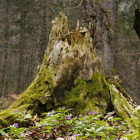 stump by Daniela Murat - Nature Up Close Trees & Bushes (  )