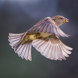 Female House Sparrow Escapes with a Seed by Martin Belan - Animals Birds ( birds, birds in flight, house sparrow, sparrow,  )
