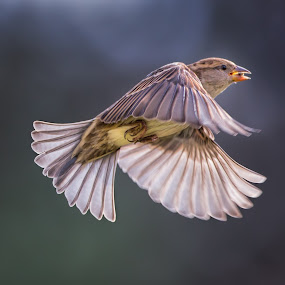 Female House Sparrow Escapes with a Seed by Martin Belan - Animals Birds ( birds, birds in flight, house sparrow, sparrow, , bird, fly, flight )
