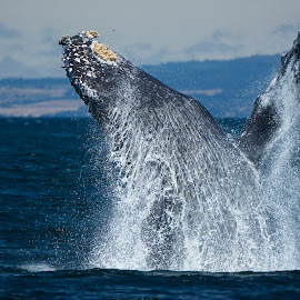 Humpback Whale breaching by Wade Tregaskis - Animals Sea Creatures ( humpback, barnacles, breaching, fin, flipper, ocean, whale, whitewater )