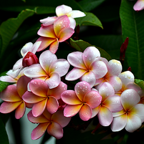 Pink Frangipani 48 by Mark Zouroudis - Flowers Flowers in the Wild (  )