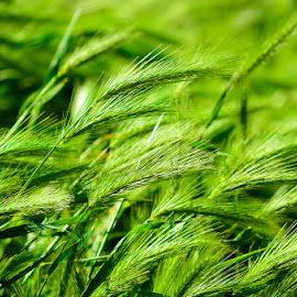in the wind by Adrian Podaru - Nature Up Close Leaves & Grasses ( wind, grass, green, nature up close, nature close up )