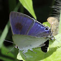 Zeus' Hairstreak