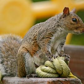 To Tie the Knot by Melanie Melograne - Animals Other Mammals ( squirrel )