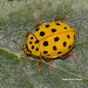 22-spot Ladybird beetle