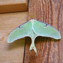 Ohio Lepidoptera