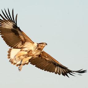 Fly fly by Joss van Wyk - Animals Birds ( chobe, bird, botswana, fly, africa, kasane )