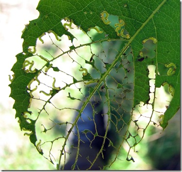 20080728 Wbx sawfly larvae 001