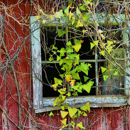 Barn Window by Jeff Via Sr. - Buildings & Architecture Other Exteriors ( white window, red barn, window, barn, ivy,  )