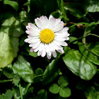 English daisy /Bruisewort