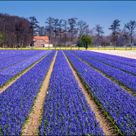 Bollenveld by Bram de Mooij - Landscapes Prairies, Meadows & Fields ( field, holland, lines, flowers, lisse )