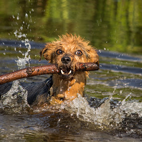 Fudge by Tracey Dolan - Animals - Dogs Playing (  )