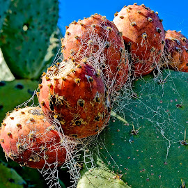 Spider Heaven by Barbara Brock - Nature Up Close Webs ( spider webs, succulents, cactus )