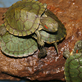 Naptime for Turtles by Waynette  Townsend - Animals Reptiles ( yellow eared, babies, sliders, baby, turtle, red eared,  )