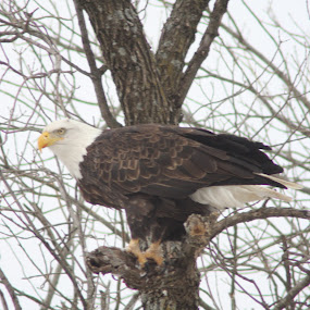Eagle in Waiting by Loren Bradley - Animals Birds ( bird, winter, eagle, nature, bald )