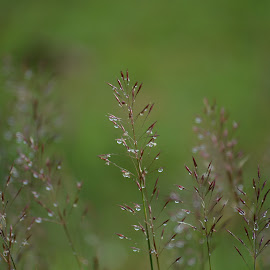 by Rajendra Tiwari - Nature Up Close Leaves & Grasses ( water drops, nature, weather, ranchi, raindrops )