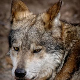 Im Annoyed by Elaine Malott - Animals Other Mammals ( animals, dogs, desert, nature, wolf, canines, wildlife, wolves )
