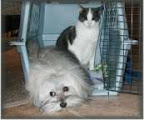 havanese_and_cats