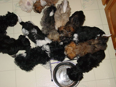Feeding Your Havanese Havanese Fanciers Of Canada