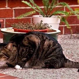 Crouching Baxter by Robin Morgan - Animals - Cats Portraits ( cat, patio )