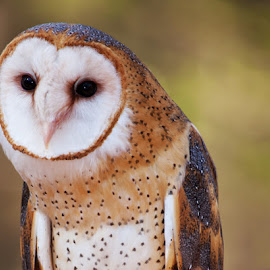 Barn Owl by George Holt - Animals Birds ( bird, shallow dof, barn owl, owl, raptor )
