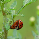 seven-spot ladybird / Biedronka siedmiokropka