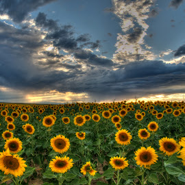 Take a Bow by Ann Vargas - Flowers Flowers in the Wild ( sky, sunset, sunflowers, colorado, yellow, landscape,  )
