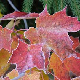 frosted fall maple leaves by Sherry Thompson - Nature Up Close Leaves & Grasses ( red, fall, leaves, maple leaf, frosted, color, colorful, nature )