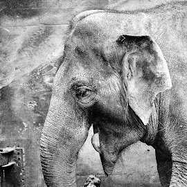 Elephant by Dasa Scuka - Digital Art Animals ( elephant, black&white )