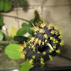 Leucanella viridiscens
