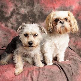 playmates by Helen Bagley - Animals - Dogs Portraits ( dogs, yorkie, dog portrait, terrier, shih tzu, portrait )