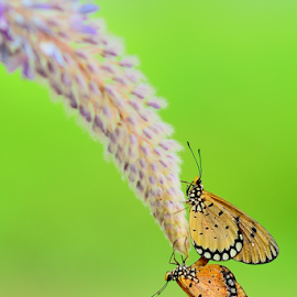 Mating Hanging by Chandra Erdiansyah - Animals Insects & Spiders ( animal, butterfy )
