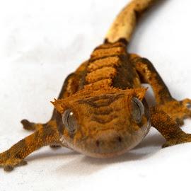 Baby Crested Gecko by Gareth Dickin - Animals Reptiles ( orange, lizard, gecko, white, feet, eyes )