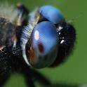 UK Dragonflies icon